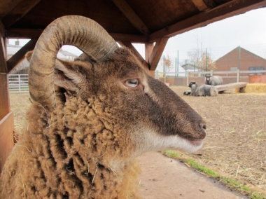 sheepportrait_CastlemilkMoorit1